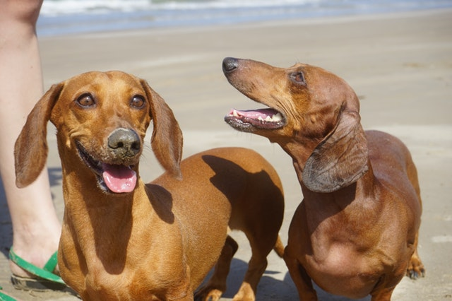 How-To-Prevent-Ear-Infections-In-Dogs