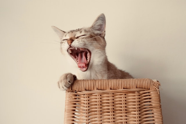 How-To-Clean-Cats-Teeth