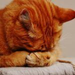 Urinary Tract Infection In Cats - Symptoms and Treatment Of Urinary Tract Infection In Cats