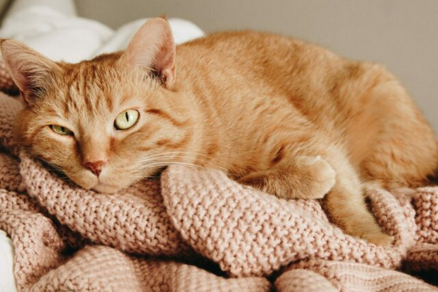 Urinary-Tract-Infection-In-Cats