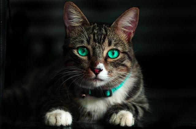 symptoms-of-feline-leukemia