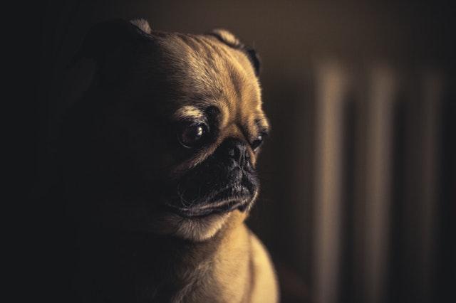 Can-Dogs-Get-Hepatitis
