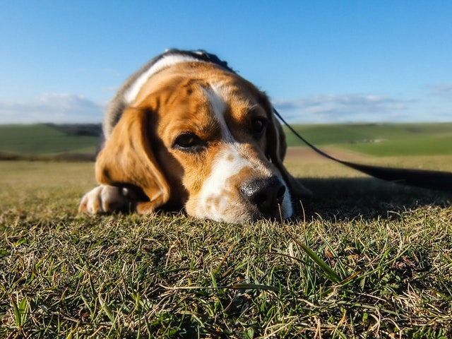 what-is-kennel-cough-in-dogs