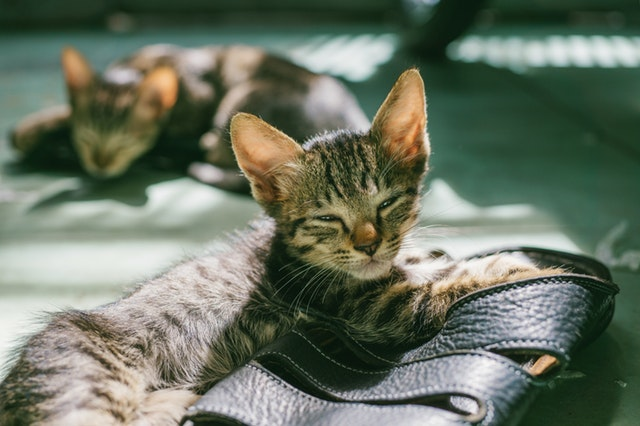 Signs-Of-Stroke-In-Cats