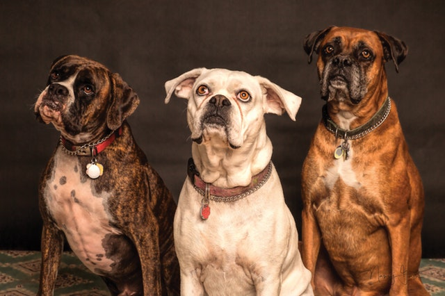 symptoms-of-kennel-cough-in-dogs