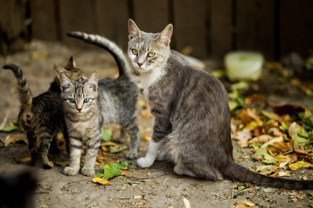 Cystitis-for-Cats
