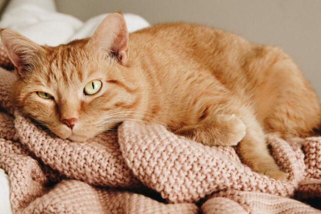feline-hypertension
