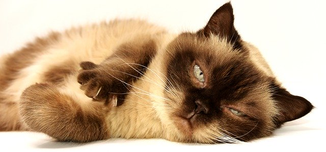 What-Is-Hypertension-In-Cats