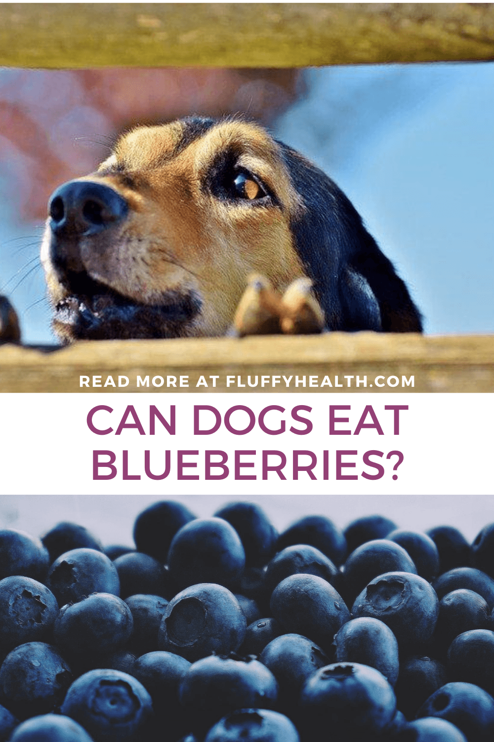 can-dogs-have-blueberries