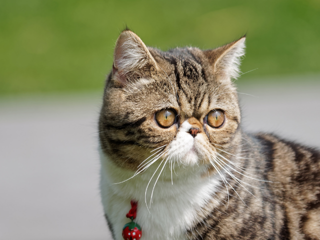 the-best-cat-breeds-for-first-time-owners
