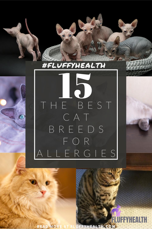 best-cat-breeds-for-allergies