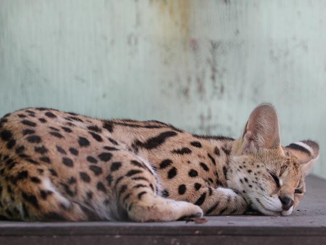 do-serval-cats-make-a-good-pet-image-3